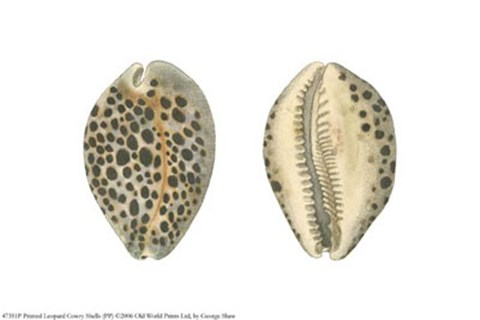 Framed Printed Leopard Cowry Shells (PP Print