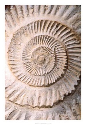 Framed Ammonite II Print