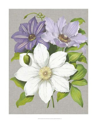 Framed Clematis Blooms II Print