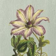 Purple Clematis Art