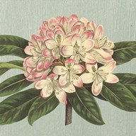 Rhododendron Art