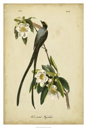 Framed Audubon Fork-tailed Flycatcher Print