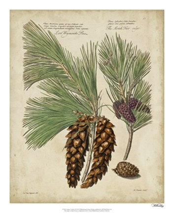 Framed Antique Conifers II Print
