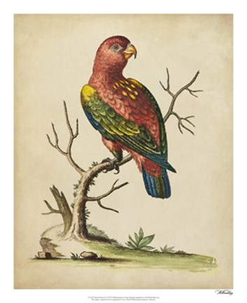 Framed Edwards Parrots IV Print