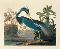 Louisiana Heron Plate 217  Fine Art Print