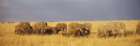 Framed Elephants on the Grasslands, Masai Mara National Reserve, Kenya Print