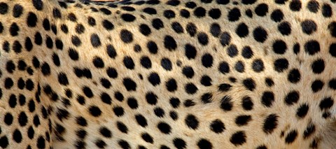 Framed Close-up of the spots on a cheetah Print