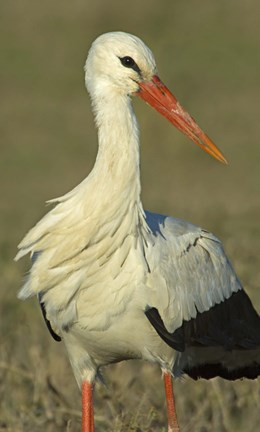 Framed Close-up of an European white stork, Ngorongoro Conservation Area, Arusha Region, Tanzania (Ciconia ciconia) Print