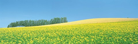 Framed Mustard field with blue sky in background Print