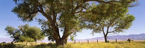 Framed Cottonwood trees in a field, Owens Valley, California, USA Print