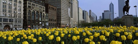 Framed Tulip flowers in a park with buildings in the background, Grant Park, South Michigan Avenue, Chicago, Cook County, Illinois, USA Print