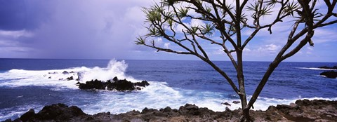 Framed Tree on the coast, Honolulu Nui Bay, Nahiku, Maui, Hawaii, USA Print