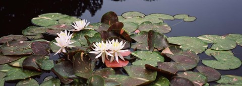Framed Water lilies in a pond, Olbrich Botanical Gardens, Madison, Wisconsin Print