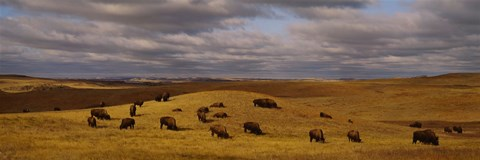 Framed High angle view of buffaloes grazing on a landscape, North Dakota, USA Print