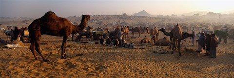 Framed Camels in a fair, Pushkar Camel Fair, Pushkar, Rajasthan, India Print