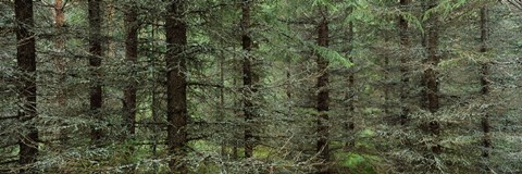 Framed Trees in a forest, Spruce Forest, Joutseno, Finland Print