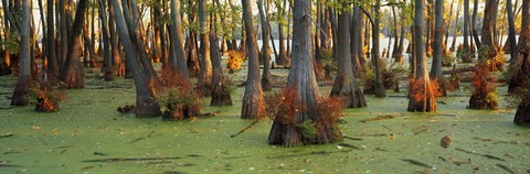 Framed Bald cypress trees (Taxodium disitchum) in a forest, Illinois, USA Print