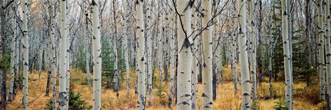 Framed Aspen trees in a forest, Alberta, Canada Print