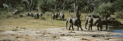 Framed African elephants (Loxodonta africana) in a forest, Hwange National Park, Matabeleland North, Zimbabwe Print