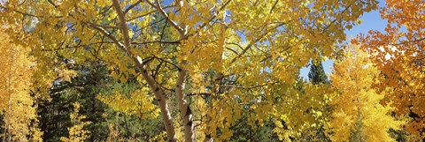 Framed Aspen trees with foliage in autumn, Colorado, USA Print