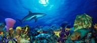 Caribbean Reef shark (Carcharhinus perezi) Rainbow Parrotfish (Scarus guacamaia) in the sea  Fine Art Print