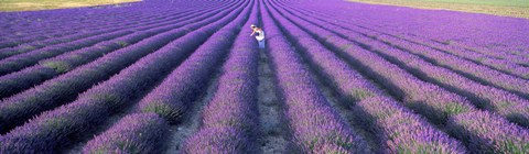 Framed Fields of lavender, Provence-Alpes-Cote d'Azur, France Print