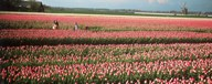 Mother and daughters in field of red tulips, Alkmaar, Netherlands Art