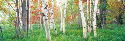 Framed Birch trees in a forest, Acadia National Park, Maine Print