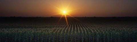 Framed Sunrise, Crops, Farm, Sacramento, California, USA Print