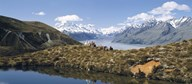 Horse Trekking Mt Cook New Zealand Art