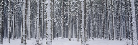 Framed Snow covered trees in a forest, Austria Print
