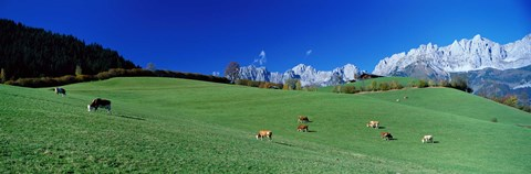 Framed Cattle Graze in Alps Wilder Kaiser Going Austria Print