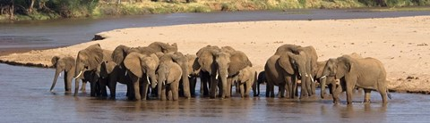 Framed Herd of African elephants at a river Print