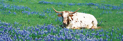 Framed Texas Longhorn Cow Sitting On A Field, Hill County, Texas, USA Print