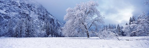 Framed Snow covered oak tree in a valley, Yosemite National Park, California, USA Print