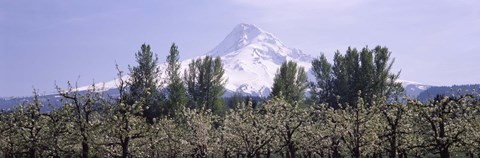 Framed Fruit trees in an orchard with a snowcapped mountain in the background, Mt Hood, Hood River Valley, Oregon, USA Print