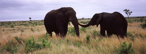 Framed Two African elephants (Loxodonta Africana) socialize on the savannah plains, Kruger National Park, South Africa Print