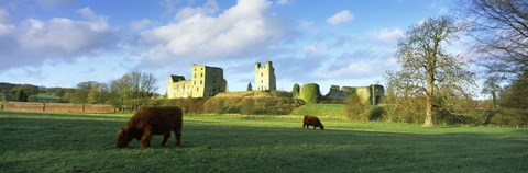 Framed Highland cattle grazing in a field, Helmsley Castle, Helmsley, North Yorkshire, England Print