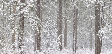 Framed Snow covered Ponderosa Pine trees in a forest, Indian Ford, Oregon, USA Print