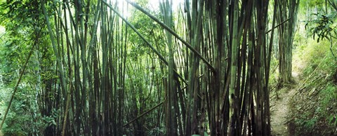 Framed Bamboo forest, Chiang Mai, Thailand Print