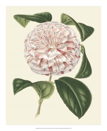 Framed Antique Camellia III Print