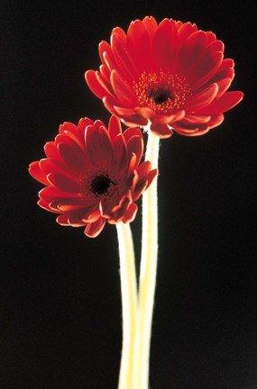 Framed Close up of two deep red flowers with white stems on black background Print