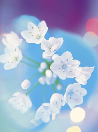 Framed Close up of white flowers with out of focus blue background Print