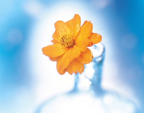 Framed Close up of ruffled marigold bloom in blue bottle with blurred blue and white background Print