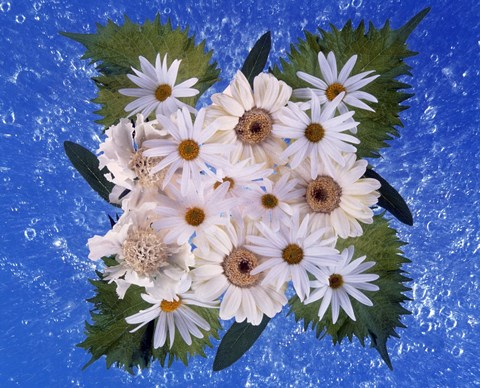 Framed Close up of white daisy bouquet with mottled blue background Print