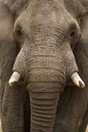 Close-up of an African elephant (Loxodonta africana) trunk, Lake Manyara, Tanzania  Fine Art Print