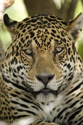 Framed Close-up of a Jaguar (Panthera onca), Three Brothers River, Meeting of the Waters State Park, Pantanal Wetlands, Brazil Print