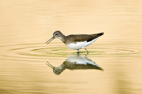Framed Close-up of a Wood sandpiper (Tringa glareola) in water, Keoladeo National Park, Rajasthan, India Print