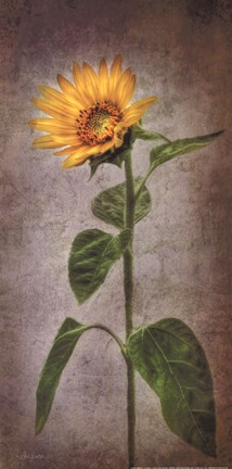 Framed Sunflower II Print