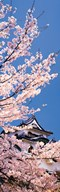 Hikone Castle w\cherry blossoms Shiga Japan  Fine Art Print